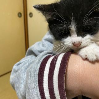 代理募集です。飼い猫さんが赤ちゃんを産みました。 - 姫路市