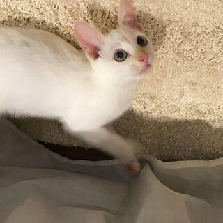 オッドアイの白猫♂ましゅまろくんの里親さん募集