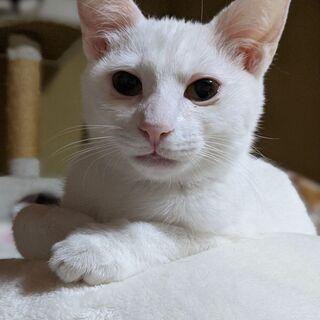 シロネコ王子メイプルです♪