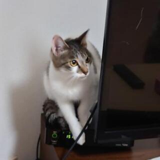 生後1年半の小さなしろのネコです