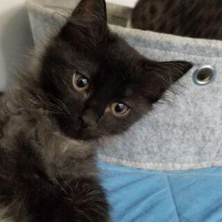 生後2ヵ月元気なイケメン黒猫男の子