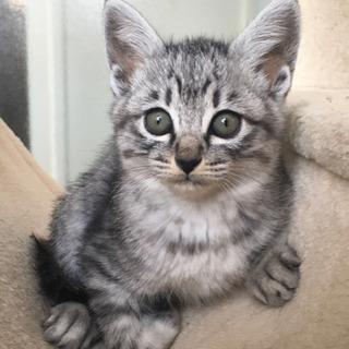 生後2ヶ月 おっとりかわいいキジ猫 雌