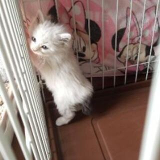 兄弟猫 長毛です