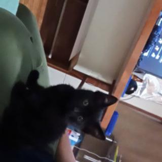 里親募集中です、真っ黒子猫♀ワクチンあり