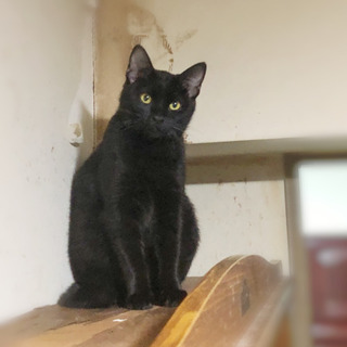 毛艶のよい黒猫