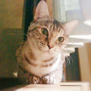 サバ柄美猫(高齢者応募OK)