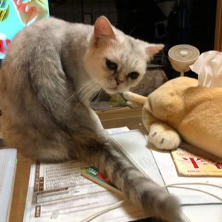 エキゾチックショートヘアーのお嬢さん - 猫