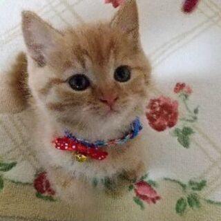 保護子猫(茶トラ♂)推定2ヶ月の里親様募集