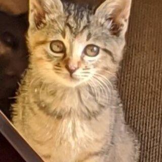 黒2匹、さび1匹、きじとら(むぎ?)2匹★子猫 2ヶ月くらい★5匹います★ - 我孫子市