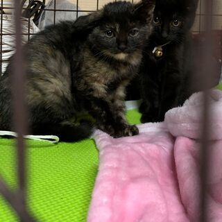 黒2匹、さび1匹、きじとら(むぎ?)2匹★子猫 2ヶ月くらい★5匹います★ - 猫