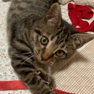 仔猫 キジトラ 男の子
