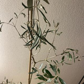 🌿オリーブ 観葉植物 インテリア🌿