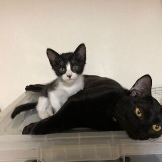 10月に生まれた白黒のメス仔猫の里親を探しております。