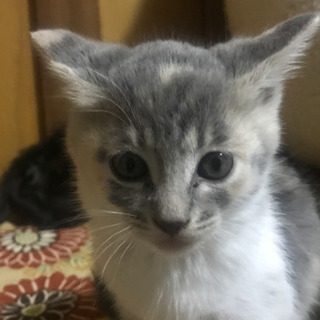 【ほぼ確定】モフモフ♪ 子猫2匹 2ヶ月くらいです 玉野市