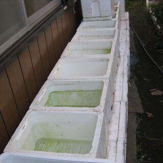 全て決まりました。メダカ メダカの水槽に最適な発泡箱です。 0円です。