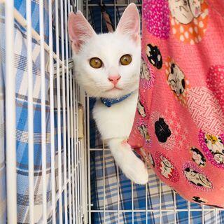 綺麗な白猫おうじ君 兵庫県内希望