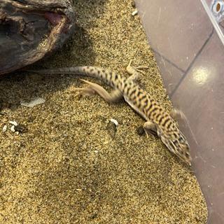 トラフソウゲンカナヘビ【2匹】爬虫類、譲渡