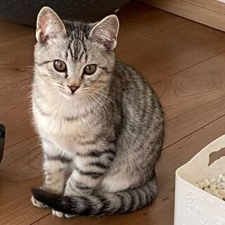 生後3ヶ月くらいサバトラ子猫ちゃんの里親を募集します。