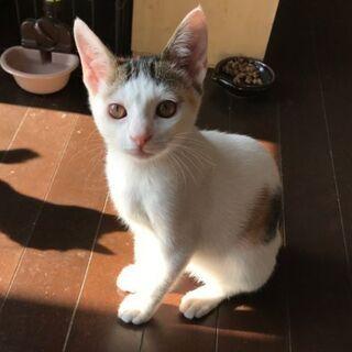 白多めの三毛猫4ヶ月