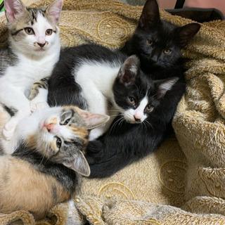 生後2ヶ月半 子猫4匹(ハチワレ、ミケ、黒猫は里親候補の方…