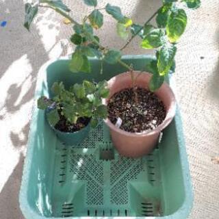 バラ苗と野菜の鉢3個