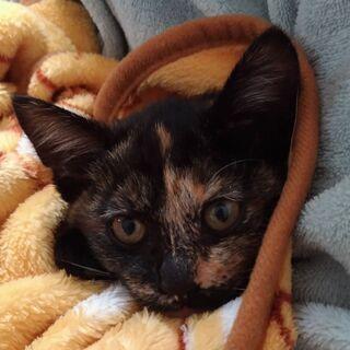 4ヶ月女の子サビ猫ちゃんフミフミしてくれます