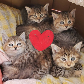 【2匹決まりました】生後1ヶ月 子猫 4匹 里親募集