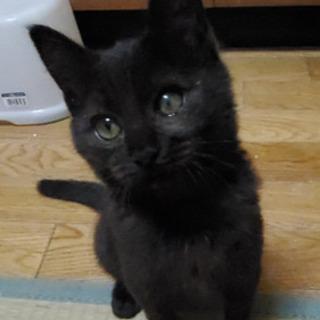ワクチン済みでの引き渡し☆2ヶ月半黒猫♀の里親さん募集☆