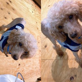 小型犬トイプードル
