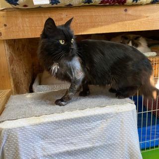 病院行きあとは毛が生えるの待つ黒猫ちゃん - 帯広市
