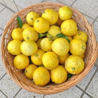 採れたて新鮮!千葉県産 柚子 無農薬 50個以上