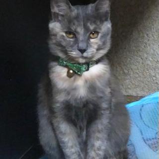 サビ猫メス♀ 6か月くらい