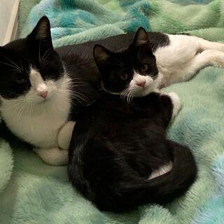 白黒ハチワレの母猫・子猫(メス)
