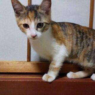 生後2ヶ月半の三毛猫の赤ちゃん