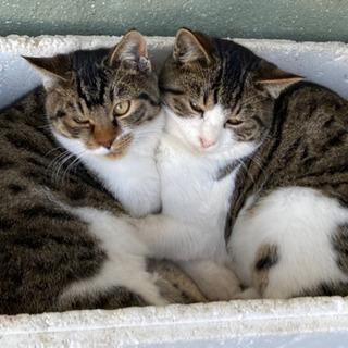 保護猫 二兄弟 里親募集