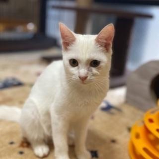 きれいな白猫 【12/20 譲渡会】