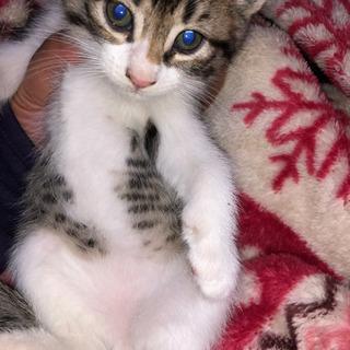 11月23日生まれ1ヶ月の子猫 キジ白里親様募集中 まだ決めてません。