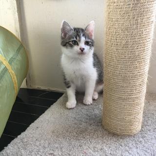 [決定]生後2ヶ月、雉白♀