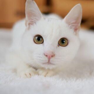 お膝が大好きな白猫の男の子