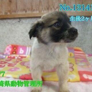 生後2か月くらいの子犬です 室内飼育の里親様を探しています