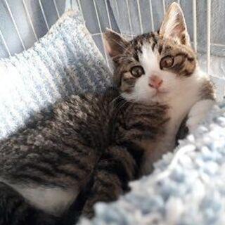 とても可愛い綺麗なキジ白の子猫!