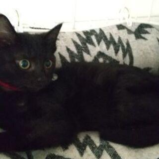 保護猫を迎えよう!生後3ヶ月。No.87くん。 - 米子市