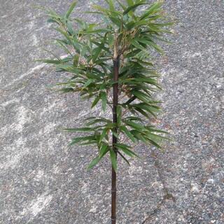 黒竹1株 紫竹 日本庭園やテラコッタに