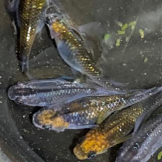夜桜コラボ(*^^*)夜桜メダカ オレンジラメ 若魚