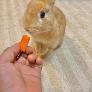 ネザーランドドワーフ×ミニウサギのMIX