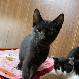 黒猫ちゃん、白黒ちゃんが優しい里親さんを待っています!!