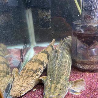 ポリプテルス コンギクス ラプエン? 2匹セット 魚 水槽