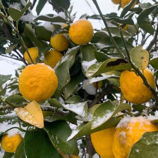 ②花柚子  20個 綺麗め 無農薬