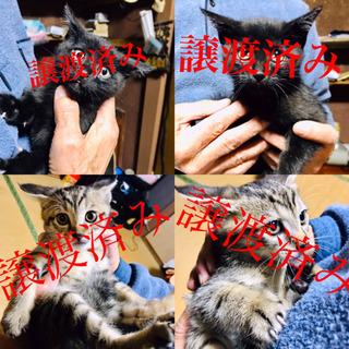 生後2ヶ月 仔猫4匹 性別不明です。(残黒1匹)