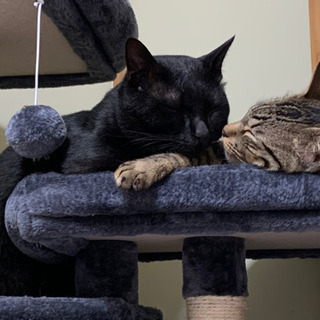 成猫 キジトラ&黒猫 里親募集です